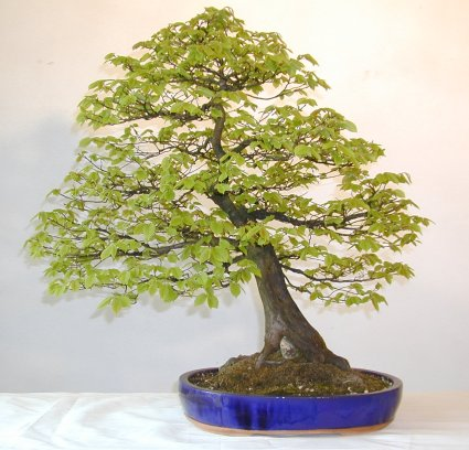 Photo du bonsai : Charme (Carpinus)