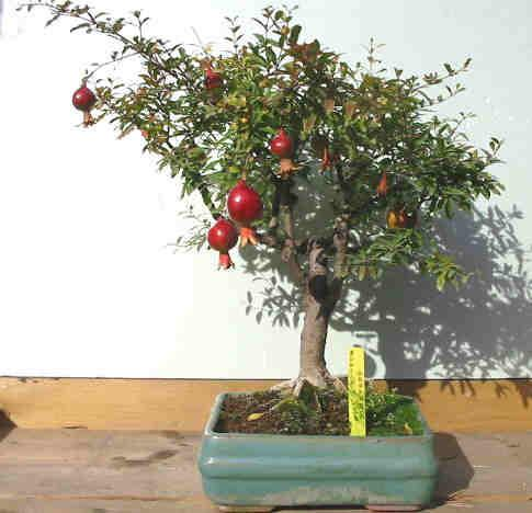 Photo du bonsai : Grenadier (Punica granatum)