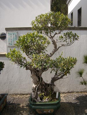 photo du bonsai ficus ficus microcarpa ginseng