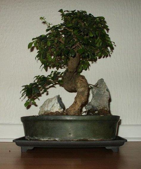 bonsa cr ation fiche d 39 entretien du carmona ehretia microphylla. Black Bedroom Furniture Sets. Home Design Ideas