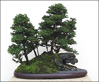 Photo du bonsai : Cryptoméria (Cryptomeria japonica)