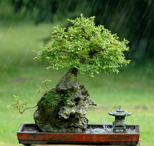 Photo du bonsai : Orme de Chine (Ulmus parvifolia)