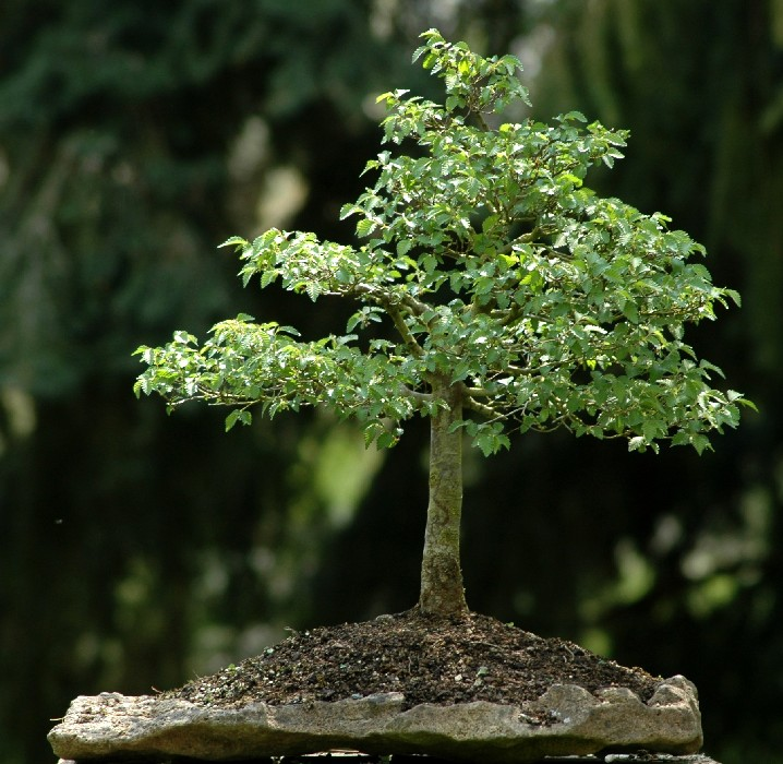 Photo du bonsai : Orme du Japon (Zelkova serrata)