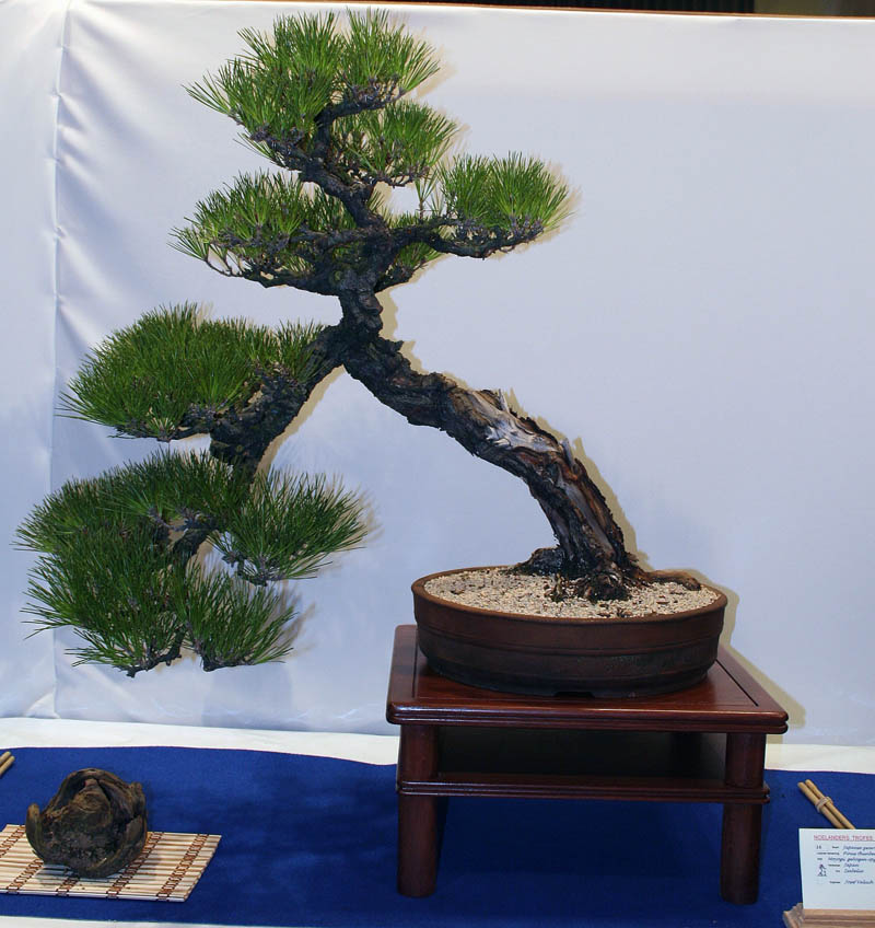 Photo du bonsai : Pin noir du Japon (Pinus thunbergii)