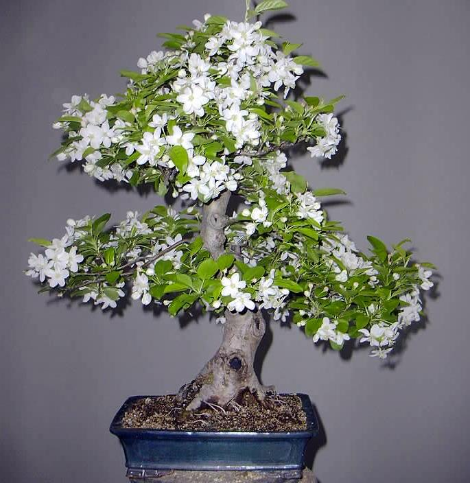 Photo du bonsai : Pommier (Malus cerasifera)