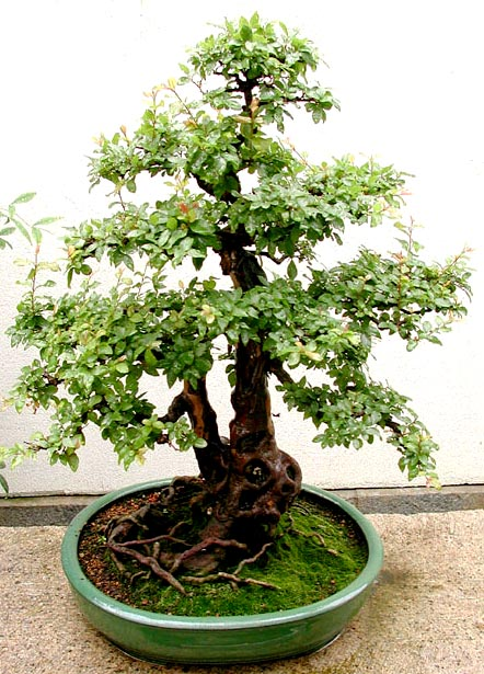 Photo du bonsai : Sagérétia (Sageretia theezans)