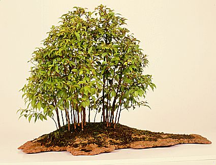 Photo du bonsai : Stewartia (Stewartia monadelpha)