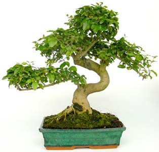 Photo du bonsai : Troène (Ligustrum sinense)