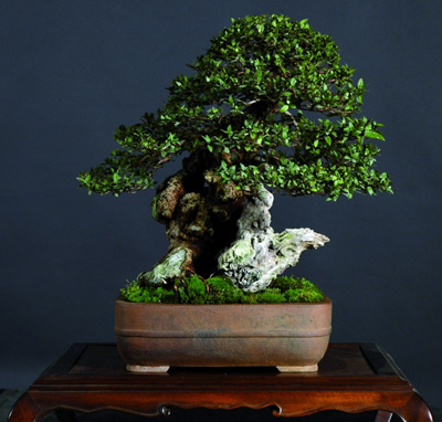 Photo du bonsai : Myrte commune (Myrtus communis)