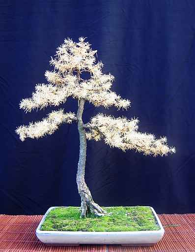 Photo du bonsai : Mélèze (Larix)