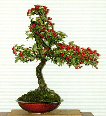 Photo du bonsai : Aubépine (Crataegus)