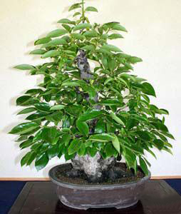 Photo du bonsai : Plaqueminier faux lotier (Diospyros lotus)