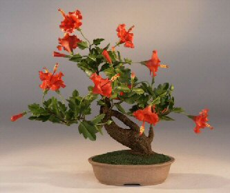 Photo du bonsai : Hibiscus (Hibiscus Syriacus)