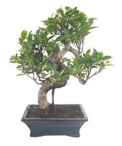 Photo du bonsai : Olivier (Olea europea sativa)