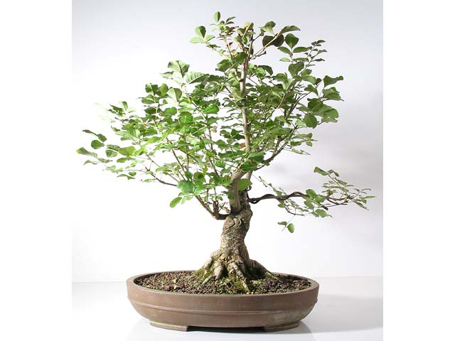 Photo du bonsai : Frêne (Fraxinus excelsior)