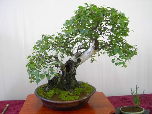 Photo du bonsai : Bouleau (Betula)