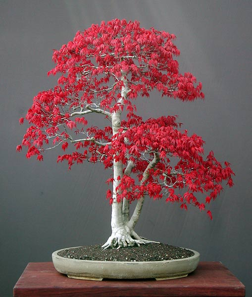 Photo du bonsai : Erable palmé (Acer palmatum)