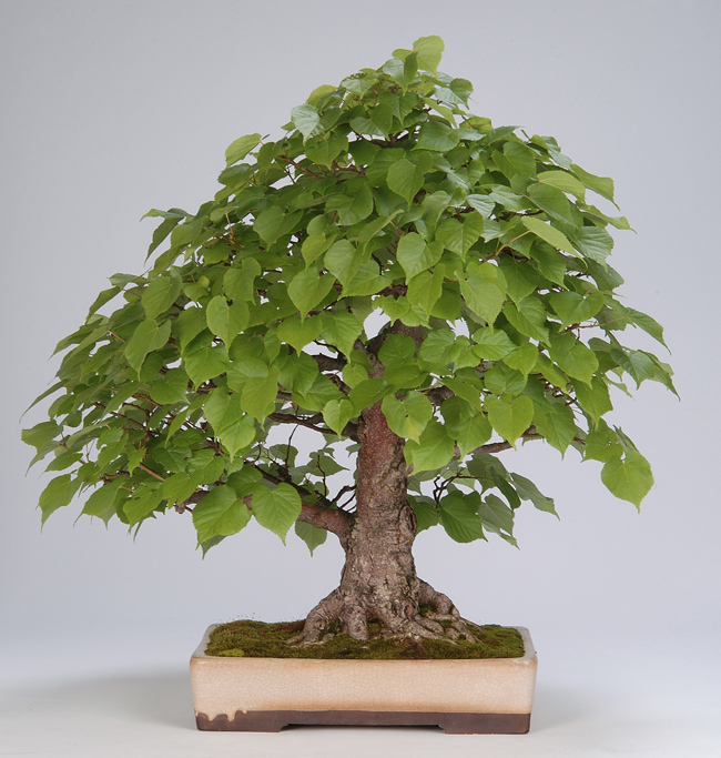 Photo du bonsai : Tilleul (Tilia)