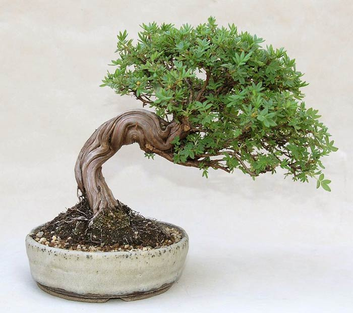 Photo du bonsai : Potentille arbustive (Potentilla fruticosa)