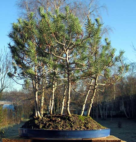 Photo du bonsai : Pin Parasol (Pinus pinea)