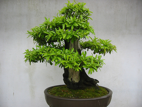 Photo du bonsai : Buisson Ardent (Pyracantha)