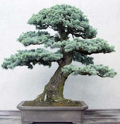 Cedre du liban bonsai