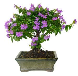 Photo du bonsai : Cuphea (Cuphea hyssopifolia)
