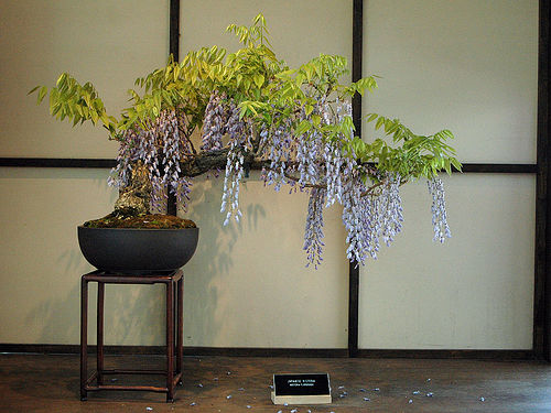 Bonsa cr ation fiche d 39 entretien du glycine wisteria - Comment faire un bonsai ...