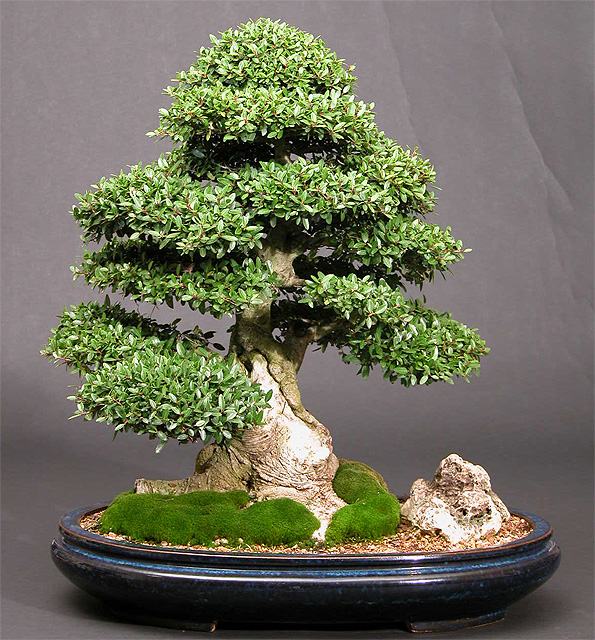 Photo du bonsai : Houx Japonais (Ilex crenata)