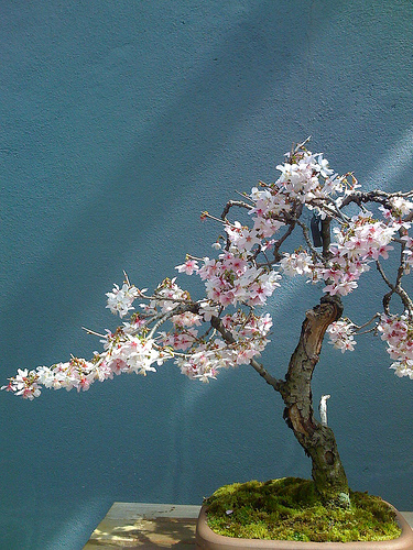 Photo du bonsai : Cerisier du Japon (Prunus serrulata)