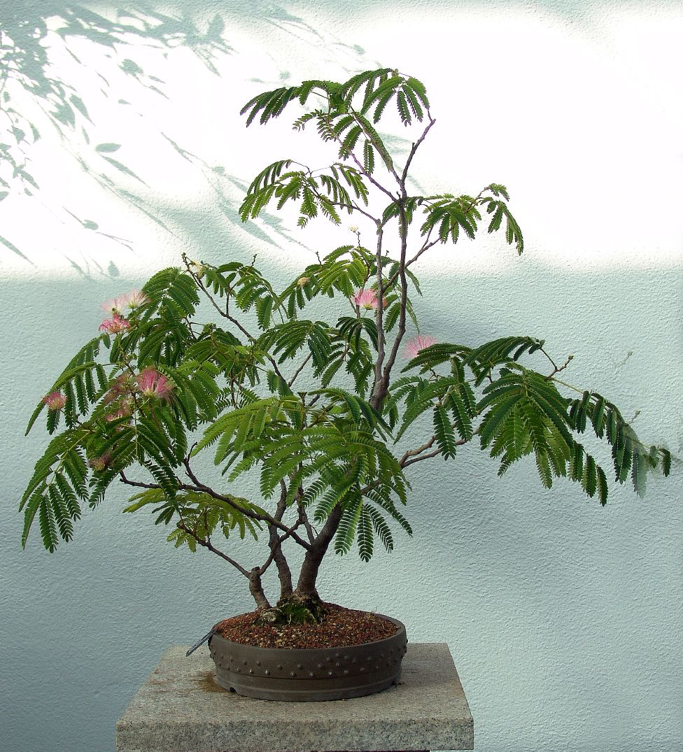 Photo du bonsai : Albizia (Albizia julibrissin, julibrissin)