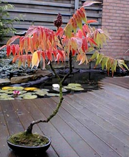 Photo du bonsai : Sumacs (Rhus)
