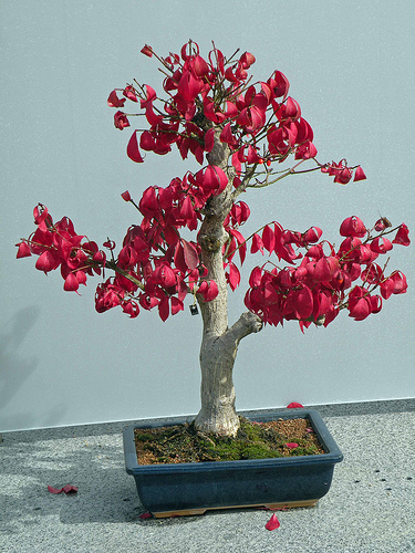 Photo du bonsai : Fusain d'Europe (Euonymus europaeus)