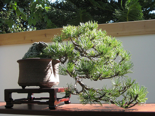 Photo du bonsai : Pin Mugo (Pinus mugo)