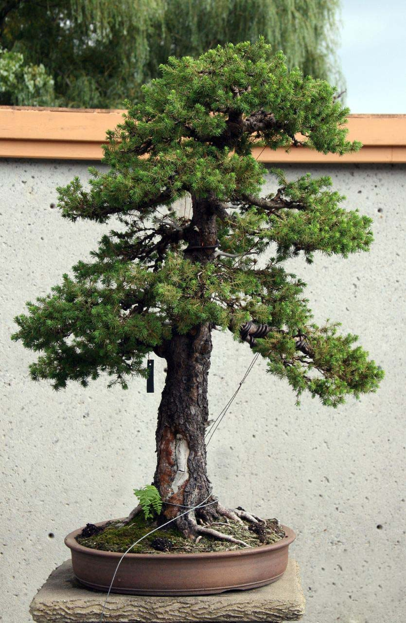 Photo du bonsai : Epicéa (Picea glauca)