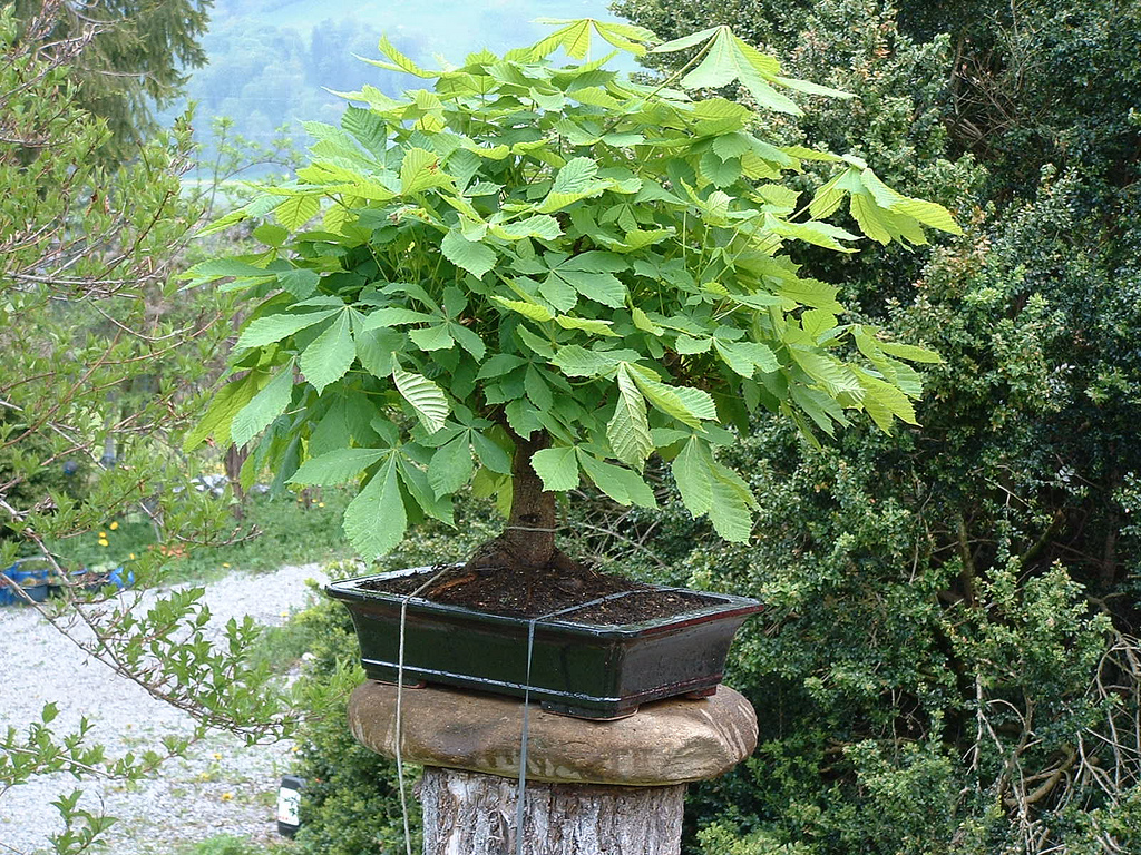 Photo du bonsai : Marronnier d'Inde (Aesculus hippocastanum)