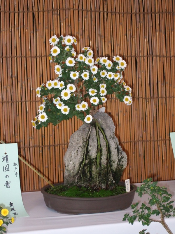 Photo du bonsai : Chrysanthème (Chrysanthemum)