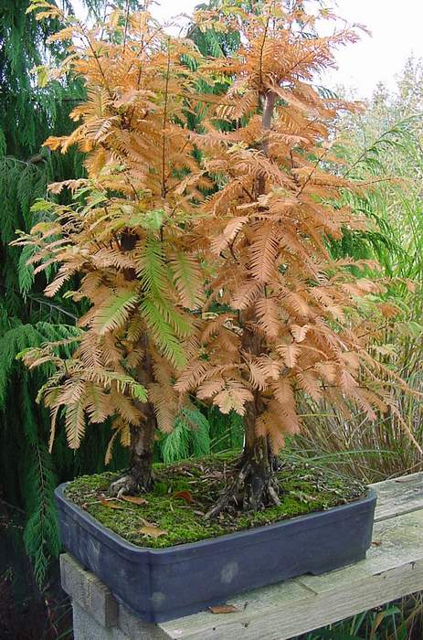 Photo du bonsai : Metasequoia (Metasequoia glyptostroboides)