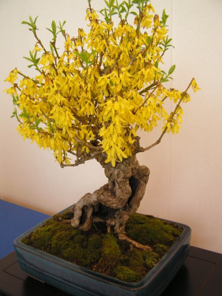 Photo du bonsai : Forsythia (Forsythia)