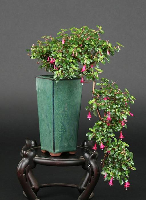 Bonsa cr ation fiche d 39 entretien du fuschia fuchsia - Comment faire un bonsai ...