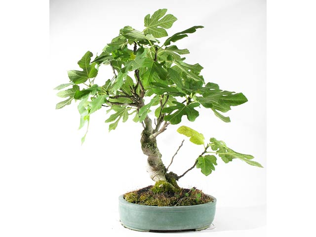Photo du bonsai : Figuier (Ficus carica)