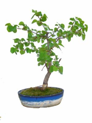 Photo du bonsai : Peuplier (Populus tremula)