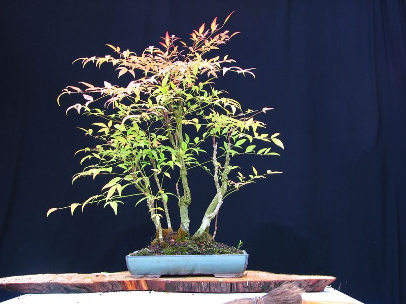 Photo du bonsai : Bambou sacré (Nandina domestica)
