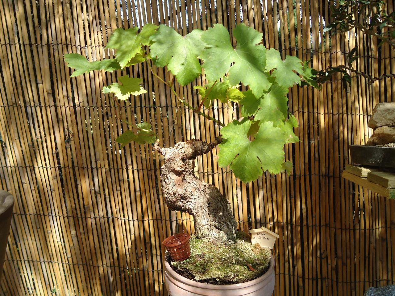 bonsa cr ation fiche d 39 entretien du vigne vitis vinifera. Black Bedroom Furniture Sets. Home Design Ideas