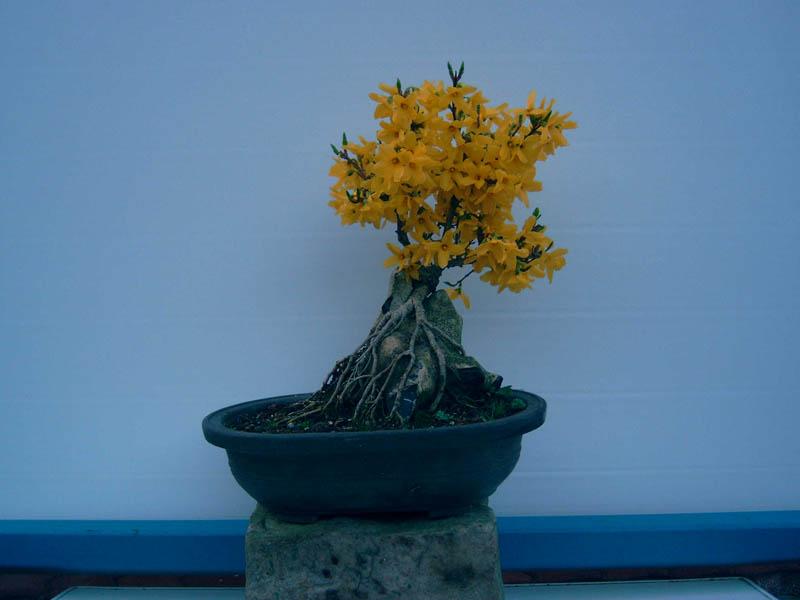 Forsythia Bonsai – Colorado Rocky Mountain Bonsai – Suiseki