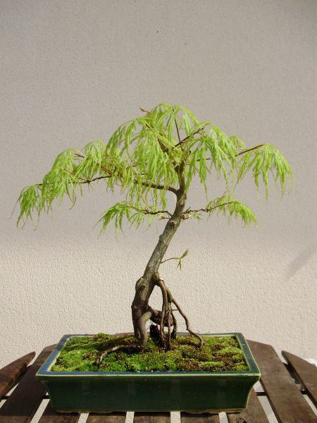 Photo du bonsaï : acer palmatum ( dissectum )
