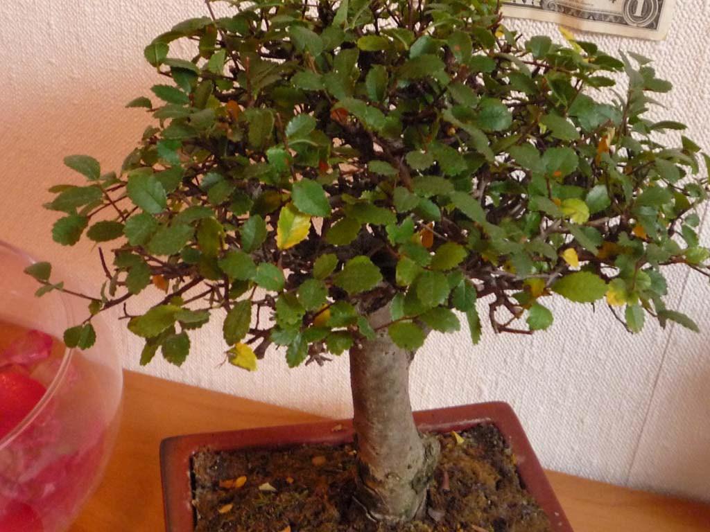 Quelques liens utiles - Comment s occuper d un bonsai ...