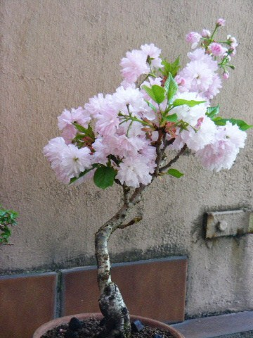 Photo du bonsaï : prunus serrulata