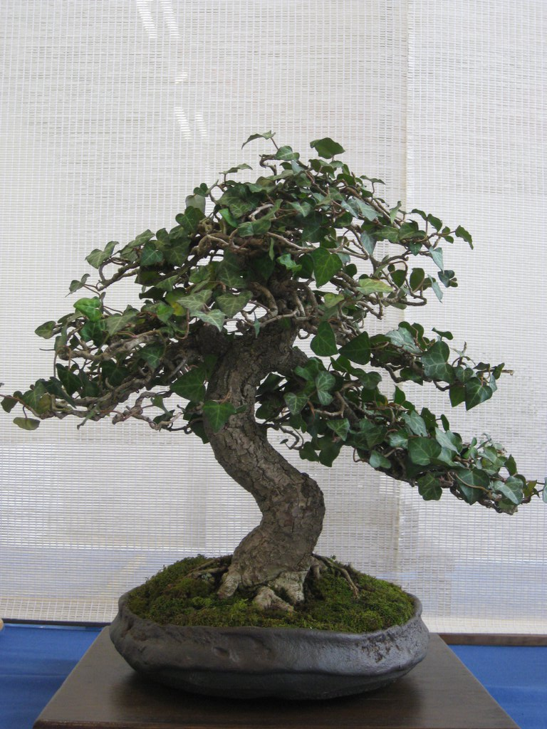 Bonsa cr ation fiche d 39 entretien du aub pine crataegus - Comment se debarrasser du lierre ...