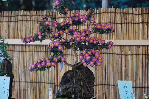 Bonsa cr ation fiche d 39 entretien du chrysanth me - Chrysantheme entretien ...